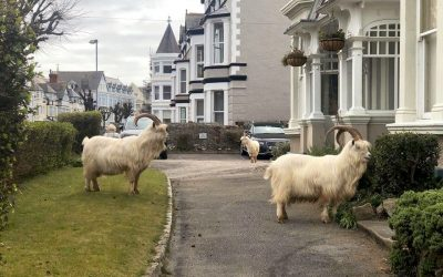 The Llandudno Great Orme Goats!