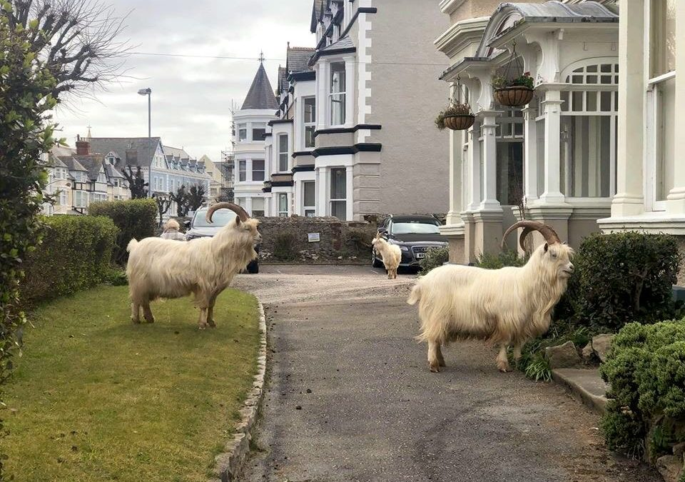 The Llandudno Great Orme Goats!